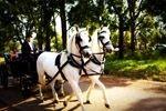 Wedding_Horse & Carriage.jpg